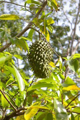 Annona muricata-guanábana